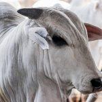 Pecuaristas ganham incentivos fiscais temporário para as carnes bovinas